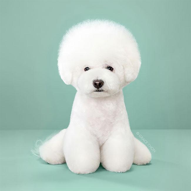 Perros corte pelo antes despues (5)