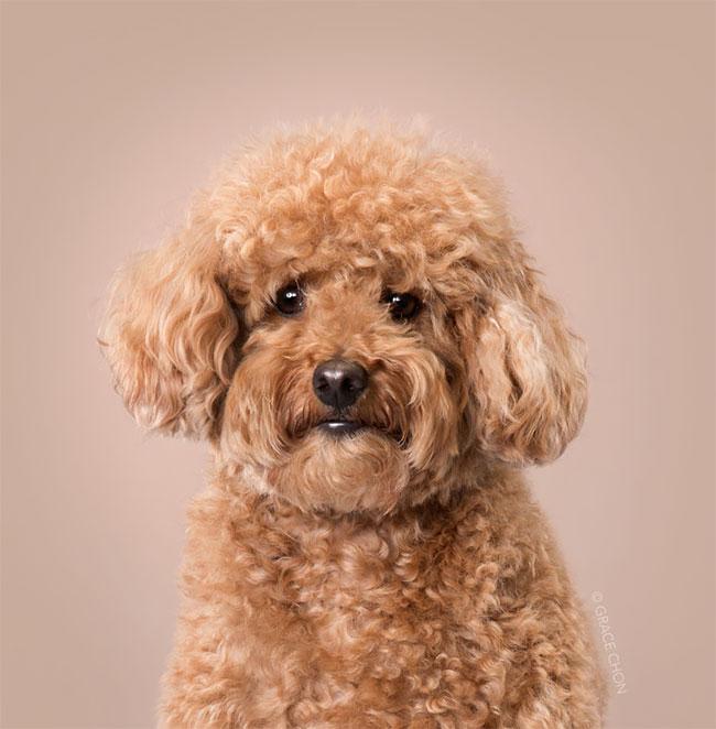Perros corte pelo antes despues (9)