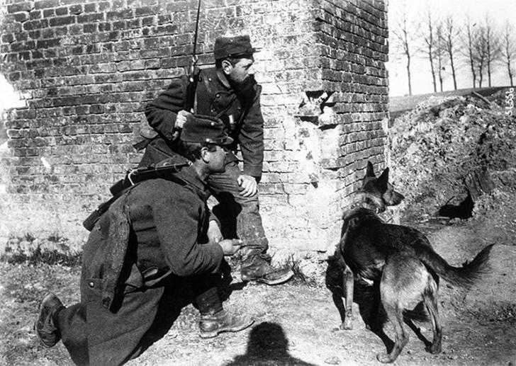 animales campo de batalla segunda guerra mundial (16)