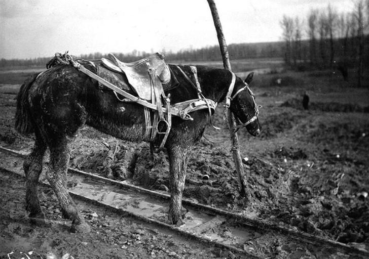 animales campo de batalla segunda guerra mundial (17)