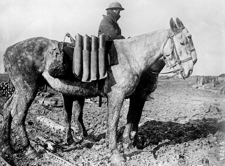 animales campo de batalla segunda guerra mundial (21)