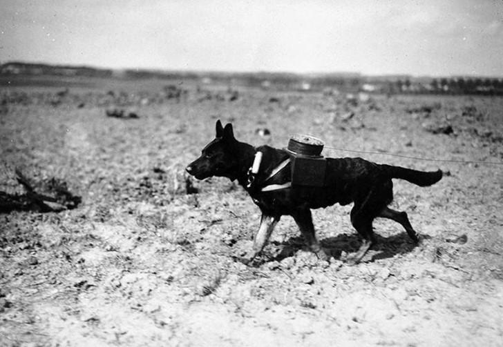 animales campo de batalla segunda guerra mundial (23)