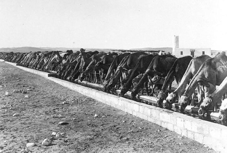 animales campo de batalla segunda guerra mundial (29)