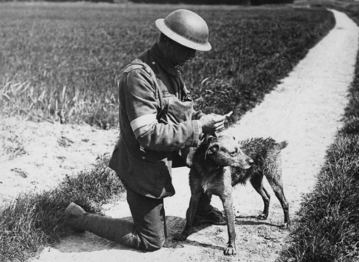 animales campo de batalla segunda guerra mundial (30)