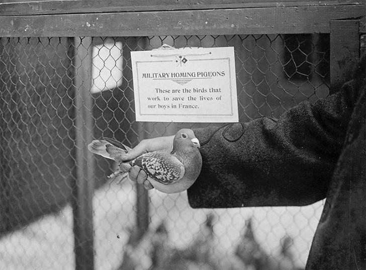 animales campo de batalla segunda guerra mundial (37)