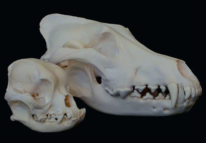craneo pug vs lobo