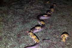 sapos sobre una serpiente