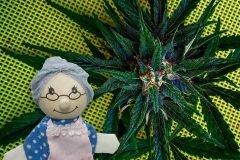 ancianos cannabis
