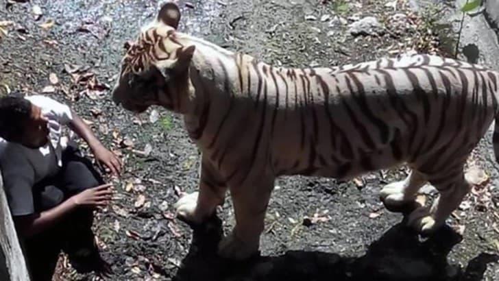 tigre blanco nueva delhi
