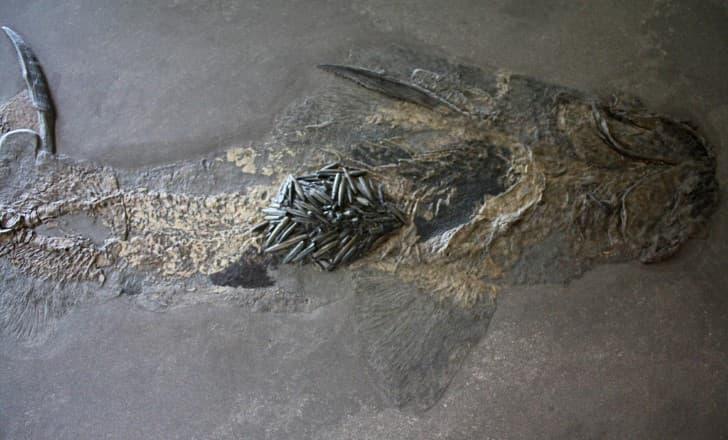 Hybodus hauffianus fosil