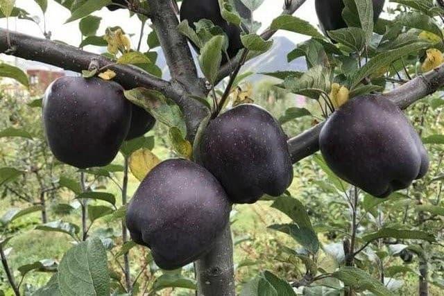 black diamond manzanas