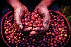 manos cultivando frutos