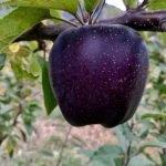 Manzanas Diamante Negro: la fruta misteriosa