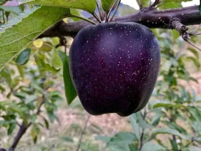 manzana diamante negro