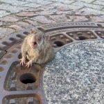 El curioso caso de la rata atrapada en una tapa de alcantarilla