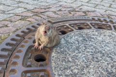 rata atrapada alcantarilla alemania (1)