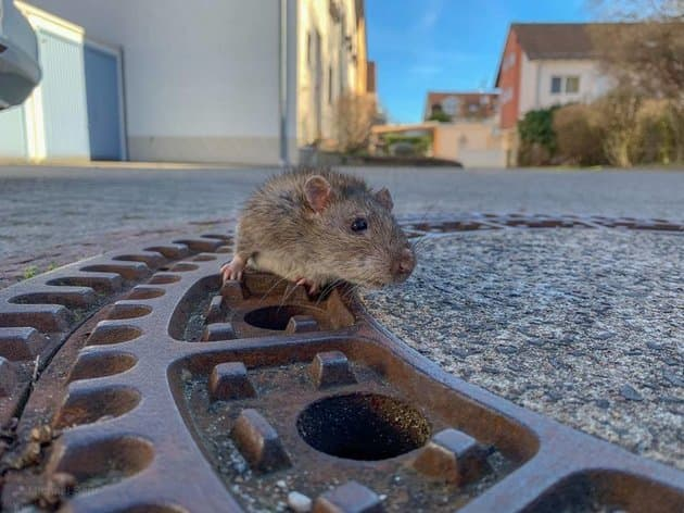 rata atrapada alcantarilla alemania (2)