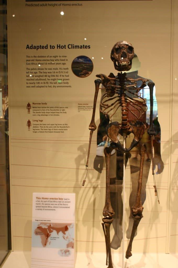esqueleto de un homo erectus
