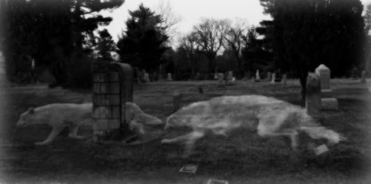 lobos en un cementerio