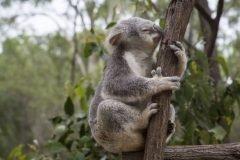 koala sobre una rama