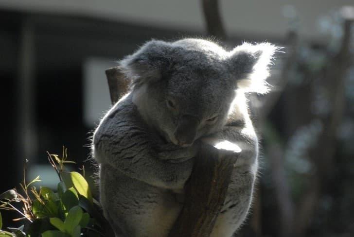 koala zoologico