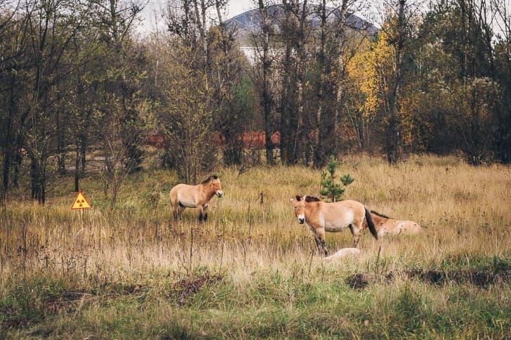 caballos en la zona de exclusion chenobil