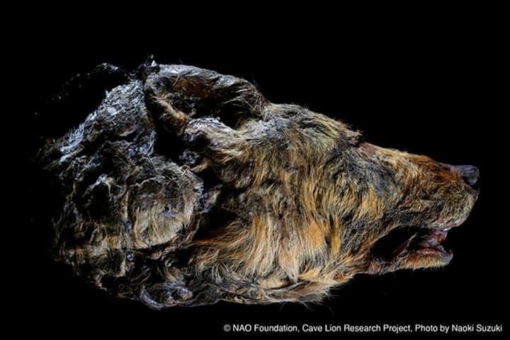 exhibición cabeza lobo primitivo