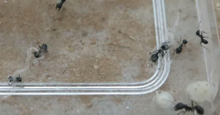 hormigas rescatistas