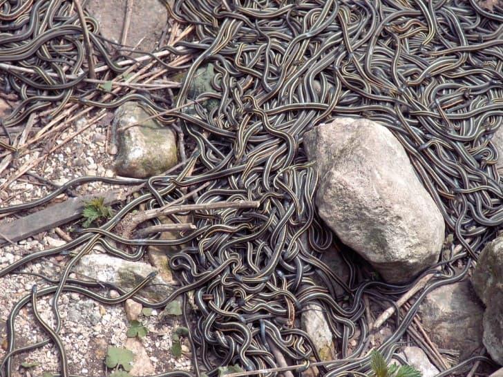 miles de serpientes en Narcisse Manitoba Canada