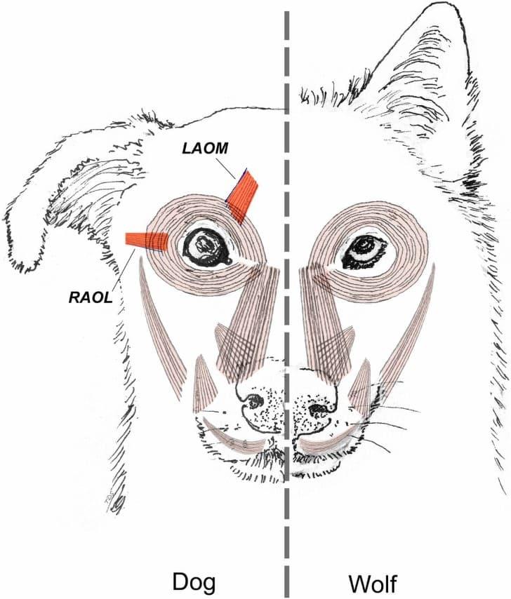 musculos RAOL y LAOM perro y lobo