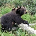 Falsa la historia del hombre que sobrevivió un mes como rehén de un oso