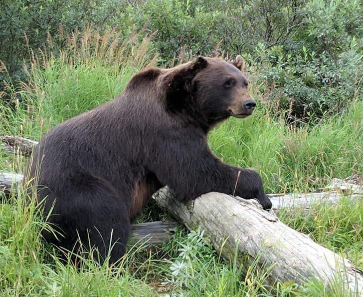 oso en rusia
