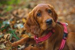 perro golden retriever mirada tierna