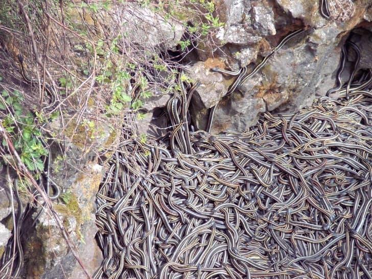 pozo de las serpientes apareandose