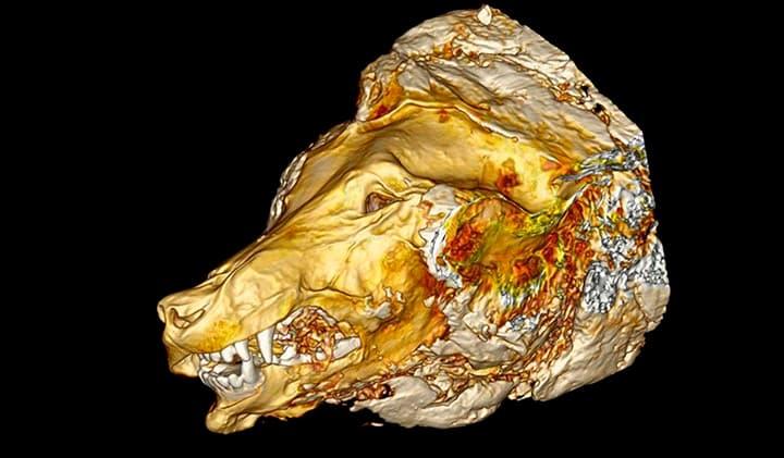scan 3D cabeza de lobo primitivo