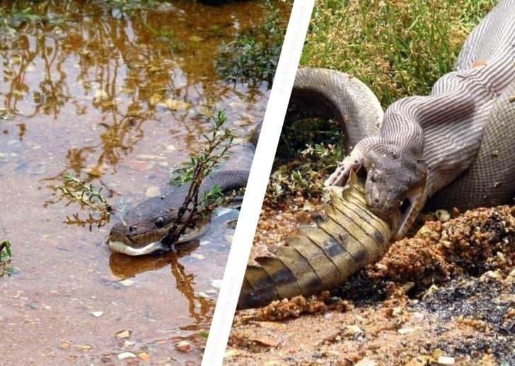 serpiente devora a cocodrilo
