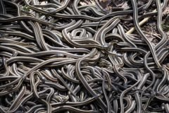 serpientes en Narcisse canada