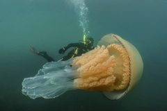 Las sorprendentes imágenes de una medusa gigante nadando junto a una bióloga