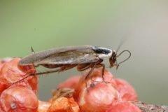 Cucarachas se están haciendo invencibles, concluye estudio