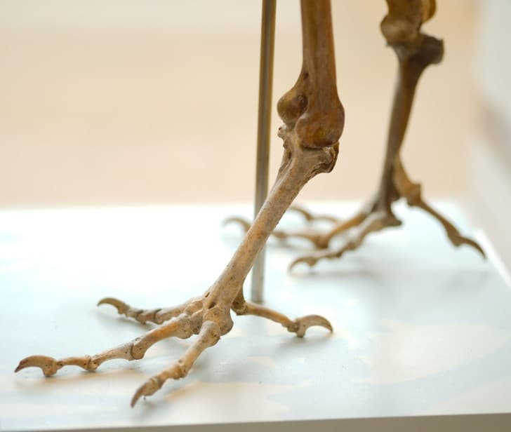 patas de un dodo