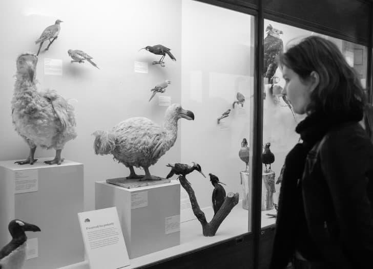 replicas del pajaro dodo