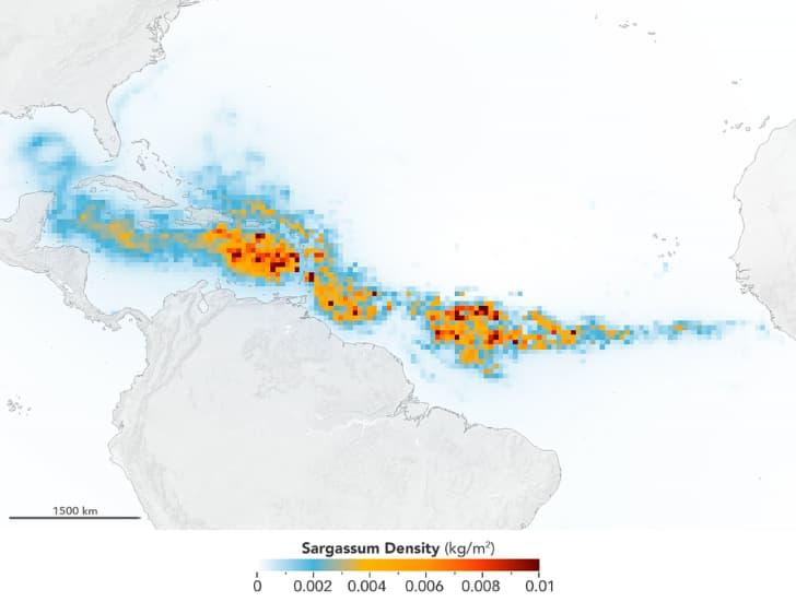 sargazo densidad en el oceano atlantico