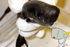 tiburon de bolsillo 2