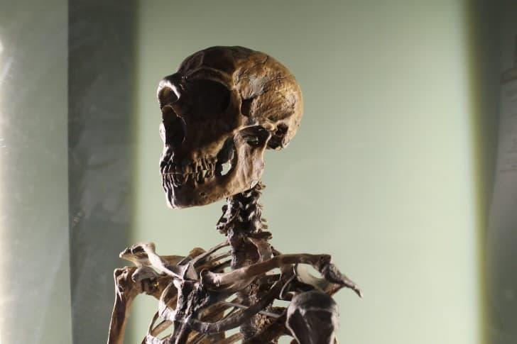 craneo de un Homo neanderthalensis