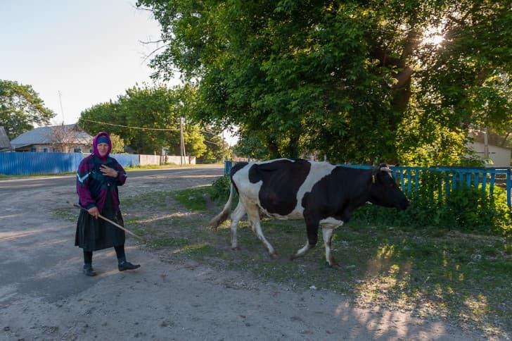 mujer arreando vaca zona de exclusion