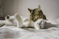 pareja de gatos jugando