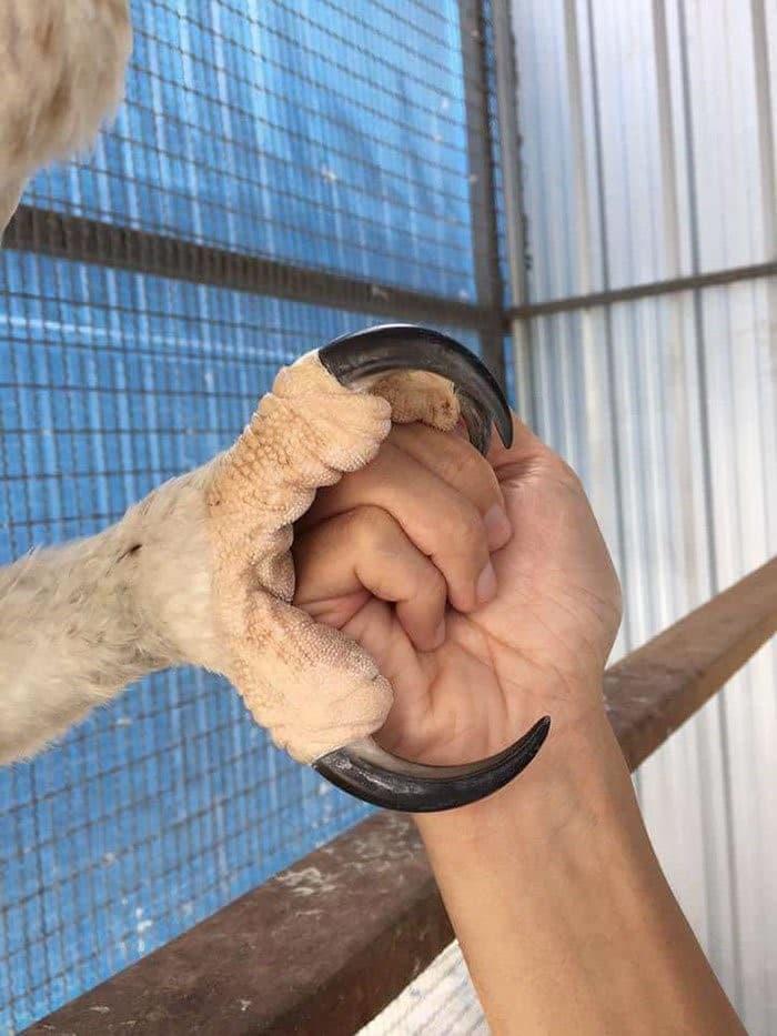 agguila harpia tamaño de garra