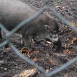 Captan a cerdos empleando herramienta para construir nido