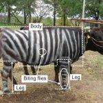 vaca pintada como cebra