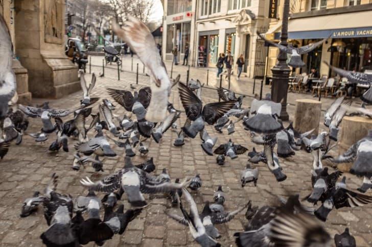 palomas en paris plaga